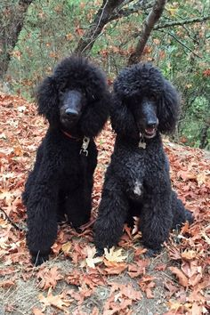 Pin By Cynthia Perreira On Dog Poodle Puppies For Sale Poodle