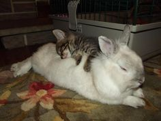 Kitten and bunny take a nap...