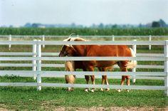 Horses in Flex