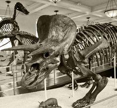 Triceratops. American Museum of Natural History, New York, NY. © Mark Ryan
