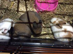 Dit zijn vier baby konijntjes we hebben er vijf maar de vijfde staat er niet op. Een is helemaal wit en heeft rode ogen en is dus een albino. Eentje is wit met licht bruine bleke en lijkt op haar moeder. We hebben ook twee bruinen dat zie je ook op de foto die zijn precies hetzelfde. En natuurlijk het konijntje die je niet ziet is helemaal bruin net las die andere maar heeft een wit pootje en een wit neusje heel schattig allemaal dus.❤️