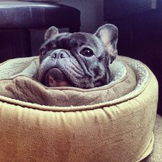 Bat Piggy Roll, French Bulldog