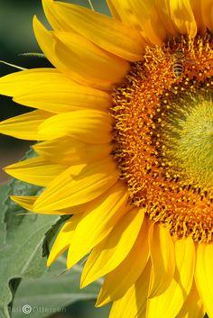 Sunflower in a field in Sansepolcro
