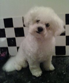 Marco Jack the Bichon Frise at 10 months old. Looks just like my Riesling!