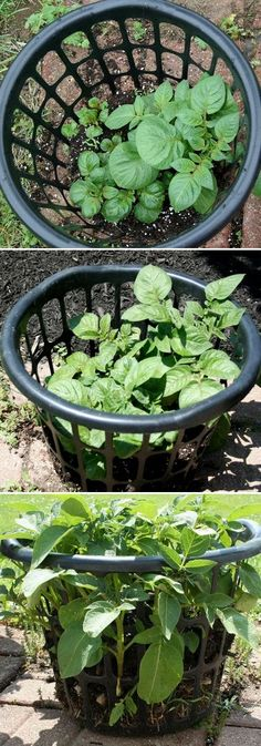 Growing potatoes in a laundry basket...would work for me, since I don't have a lot of space.