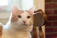 Lucumas senior portrait - http://cutecatshq.com/cats/lucumas-senior-portrait/