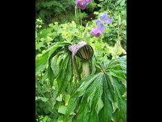 arisaema ciliatum var. liubaense greenmilenursery.be
