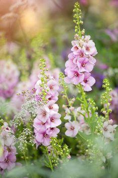 Photos : les plus belles fleurs du monde - Ideas Flowers Most Beautiful Flowers, Love Flowers, Beautiful Gardens, Pink Garden, Dream Garden, English Country Gardens, No Rain, Hollyhock, Garden Inspiration