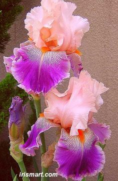 Tall Bearded Iris Flowers | Savannah Fair tall bearded irises, flowers, baby pink and deep purple