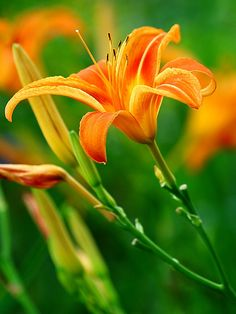 Pretty Orange Lilies