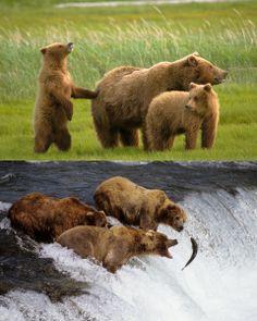 Bears, bears, grizzly