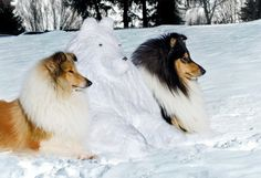 A Sable and a tri with Snowman collie!!!