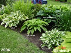 Way to layout hostas - Garden Ideas for blending Hosta