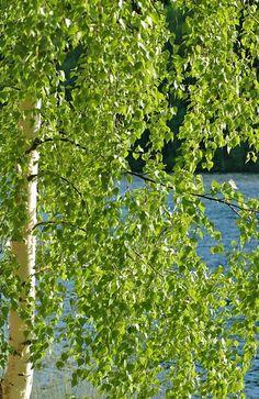 Koivu+ja+kesä+20086 Pansies, Daffodils, Taste Of Nature, Finland Travel, Solomons Seal, Summer Dream, Summertime, Scenery, Seasons