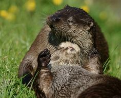 Otter gives her friend a nice, relaxing scalp massage - June 9, 2013