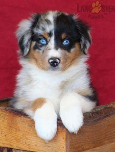 #AustralianShepherd #Charming #PinterestPuppies #PuppiesOfPinterest #Puppy #Puppies #Pups #Pup #Funloving #Sweet #PuppyLove #Cute #Cuddly #Adorable #ForTheLoveOfADog #MansBestFriend #Animals #Dog #Pet #Pets #ChildrenFriendly #PuppyandChildren #ChildandPuppy #LancasterPuppies www.LancasterPuppies.com Red Merle Australian Shepherd, Australian Shepherd Puppies, Puppies For Sale, Cute Puppies, Lancaster Puppies, Puppy Food, Blue Merle, Animals Dog, Collar And Leash