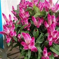 Celosia Intenz Classic #annualplants