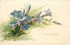 BLUE GENTIAN