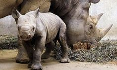 Western Black rhino is officially extinct, says conservation group #DailyMail