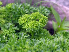 parsley photo: parsley This photo was uploaded by bour3