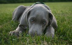Herunterladen hintergrundbild blue lacy, graue welpe, blaue augen, kleiner hund, weimaraner, 4k