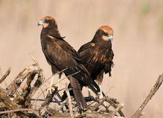 genieten - Vogels - Bruine Kiekendief