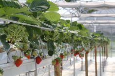 Az.Agr.Malbosca..coltivazione fragole fuori terra