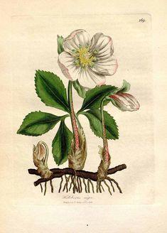 Helleborus niger L. Christmas rose Woodville, W., Hooker, W.J., Spratt, G., Medical Botany, 3th edition, vol. 3: t. 169 (1832) - FREE PRINTABLE LARGE SIZE