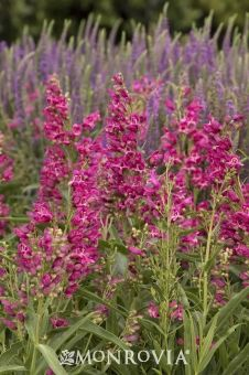 Monrovia's Rock Candy™ Pink Penstemon details and information. Learn more about Monrovia plants and best practices for best possible plant performance.