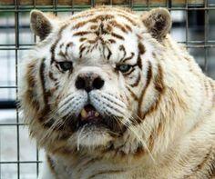 kenny-primeiro-tigre-branco-sindrome-down-560