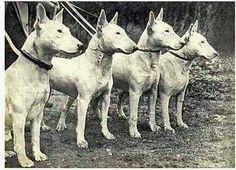 White Bull Terriers in 1918.