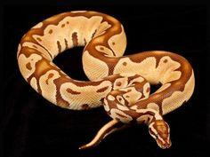 monarch pastel ball python.