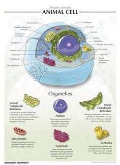 Animal Cell Diagram Labeled And Functions Water Heater Switch Wiring Molecular Biology Visual Denoyer Geppert Chart