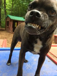 Koufax says cheese! #SmileForTheCamera #Puggle #DogSmile #DoggieDaycare