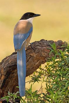 pega azul from Malcata