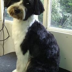Tibetan Terrier Teddy Bear Cut