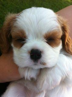 sweet Blenheim Cavalier puppy!
