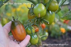 Black Plum Heirloom Tomato - The Nitty Gritty Potager