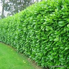 This is the plant I suggest for the hedge: English Laurel. It is very prevalent on old lots in Larkspur.