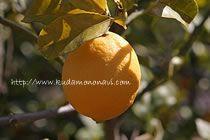 シトロニア4シーズンズレモン