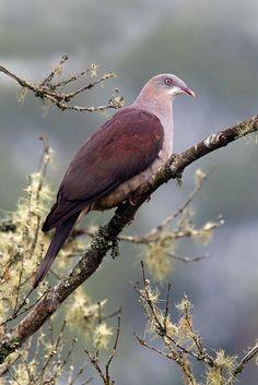 Mountain Imperial-Pigeon (Ducula badia)