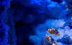 1920x1200px clownfish images for desktop background by Ceylon Grant