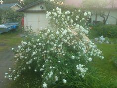 Finnish white rose