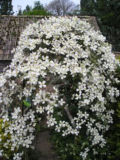 climbers in my garden on pinterest clematis montana. Black Bedroom Furniture Sets. Home Design Ideas