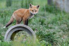 Red Fox Cub by Daniel Moezzi on 500px
