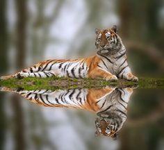 #tiger #photograpy #endangeredspeices