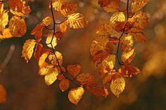 Beech leaves, Mark Ash Wood