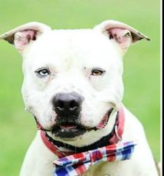 Meet Ken - URGENT, an adoptable Pit Bull Terrier looking for a forever home. If you're looking for a new pet to adopt or want information on how to get involved with adoptable pets, Petfinder.com is a great resource.