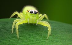 Green jumping spider by dakiru