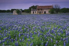 Bluebonnets cover the fields in the Hill county area of Texas, USA